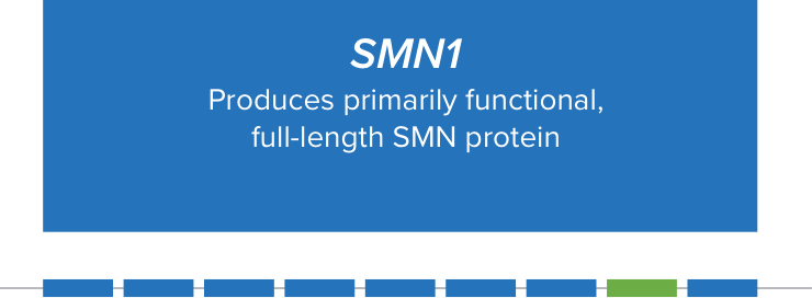the importance of SMN1 gene and the SMN2 gene for producing functional SMN protein.