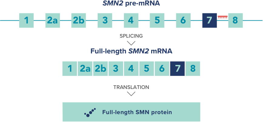 SPINRAZA is an ASO that binds to a specific nucleotide sequence of exon 7 in the SMN2 transcript